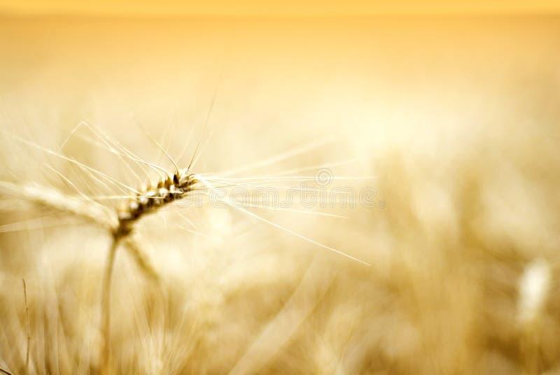 детализирует пшеницу уха стоковая фотография rf