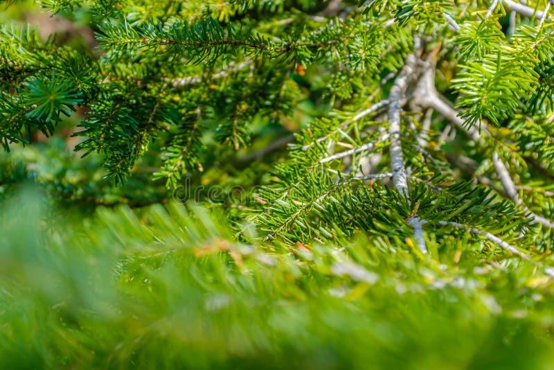 Детали ветви маленького сосна стоковые фото