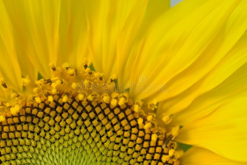 Детали макроса желтого солнцецвета в природе стоковые фотографии rf