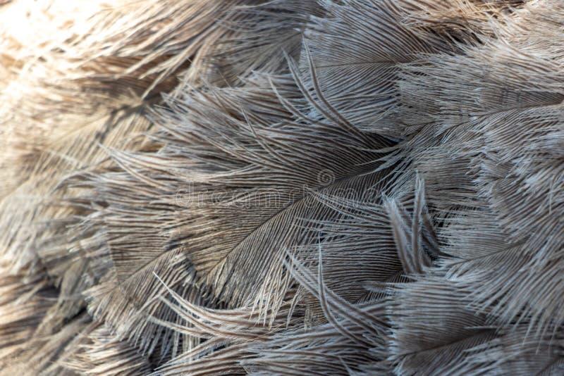 Детали пер страуса закрывают вверх стоковое фото
