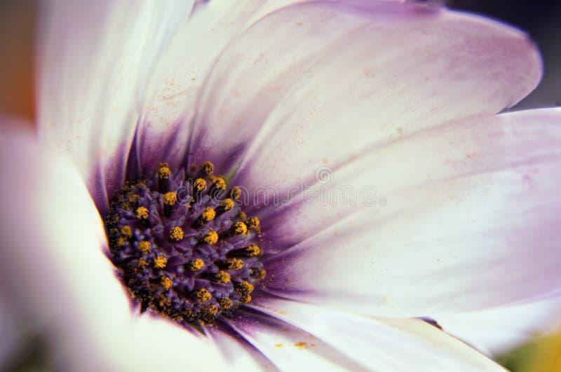 Детали цветка макроса фиолетовые внутрь стоковая фотография