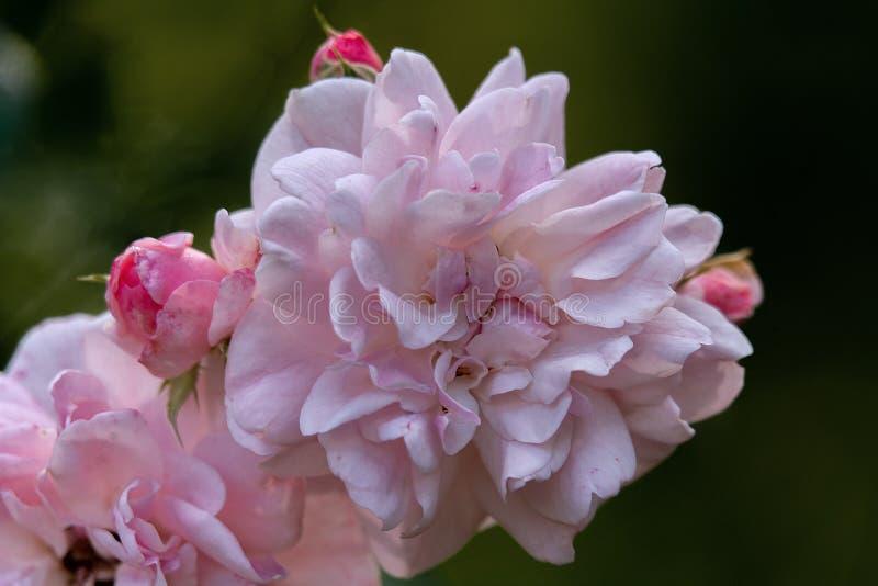 Детально закрыв одну розовую и белую цветную розовую голову Боника в ярком солнечном свете стоковая фотография rf