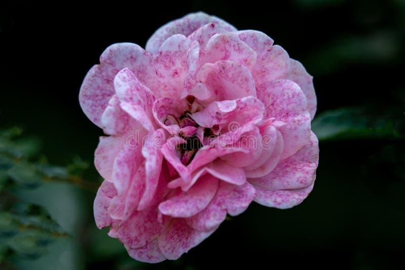 Детально закрыв одну розовую и белую цветную розовую голову Боника в ярком солнечном свете стоковые фотографии rf