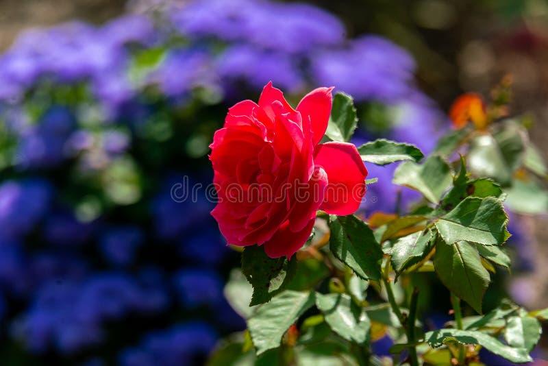 Детально закрыть одну красную розовую розовую голову Ортифлоры с голубым фоном стоковые фотографии rf