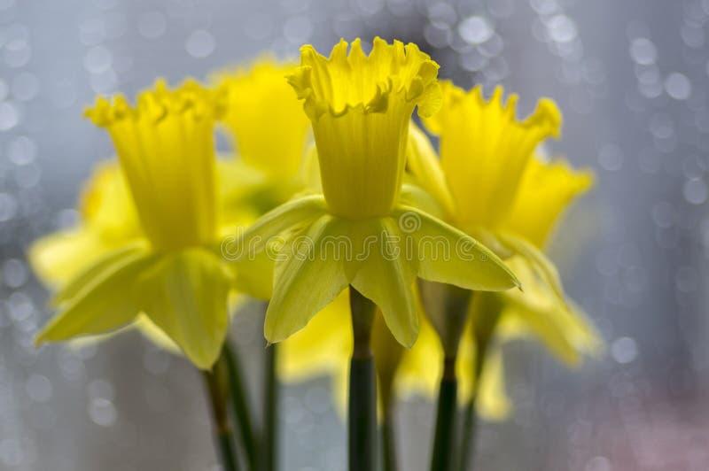 Деталь весны pseudonaricissus Narcissus орнаментальной цветет, желтые головы цветка в цветени стоковое изображение
