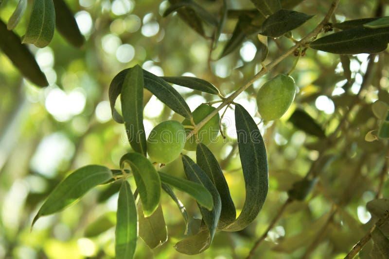 Деталь ветви оливкового дерева стоковое фото rf