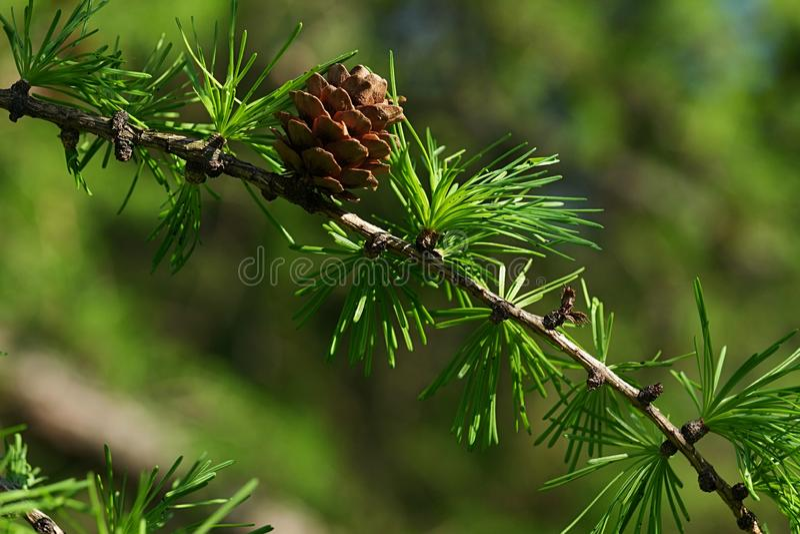 Деталь ветви coniferous дерева европейской лиственницы, латинского имени Larix Decidua, с fascicles иглы и одиночным небольшим ко стоковое фото rf