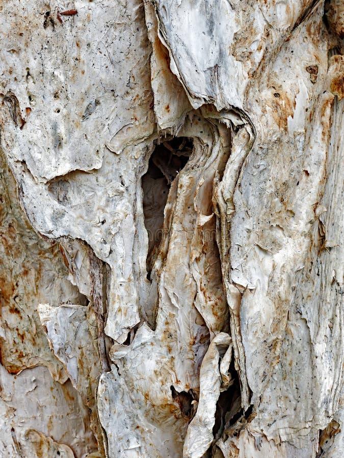 Деталь дерева евкалипта Paperbark стоковая фотография