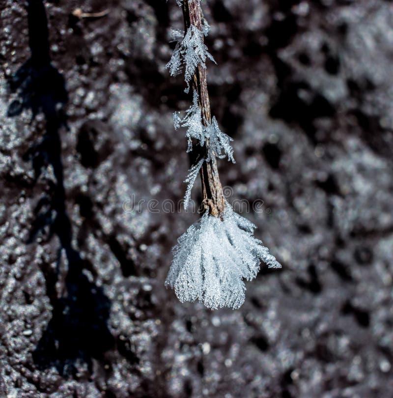 Деталь заморозка на ветви виноградного вина 2 стоковые изображения rf
