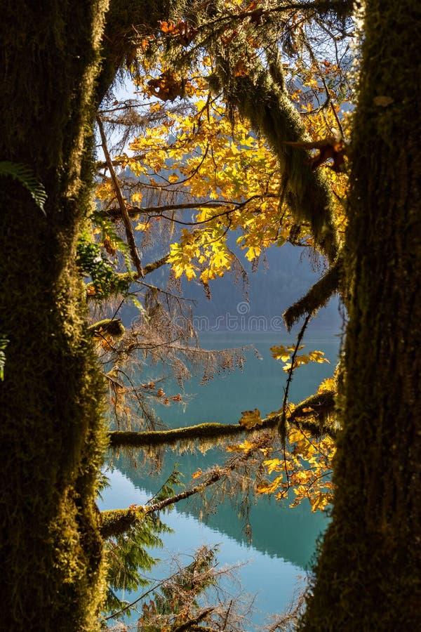 Деталь зеленого мха растя в хоботе деревьев в каскадах Norh рядом с водой озера хлебопек стоковая фотография