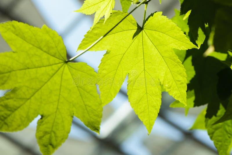 Деталь зеленой предпосылки кленового листа стоковое изображение
