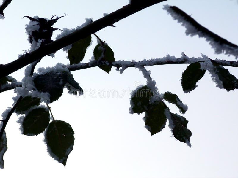 Деталь зимы с кустом роз и зелеными листьями под снегом стоковая фотография