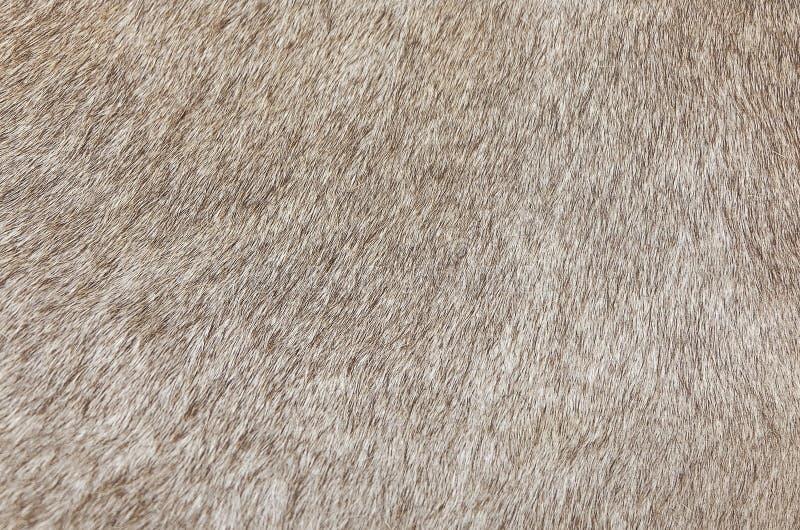 Деталь кожи предпосылки текстуры коровы стоковое изображение