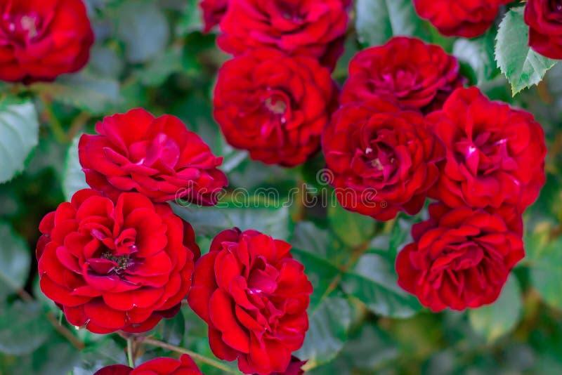 Деталь красных роз в саде r стоковые фотографии rf