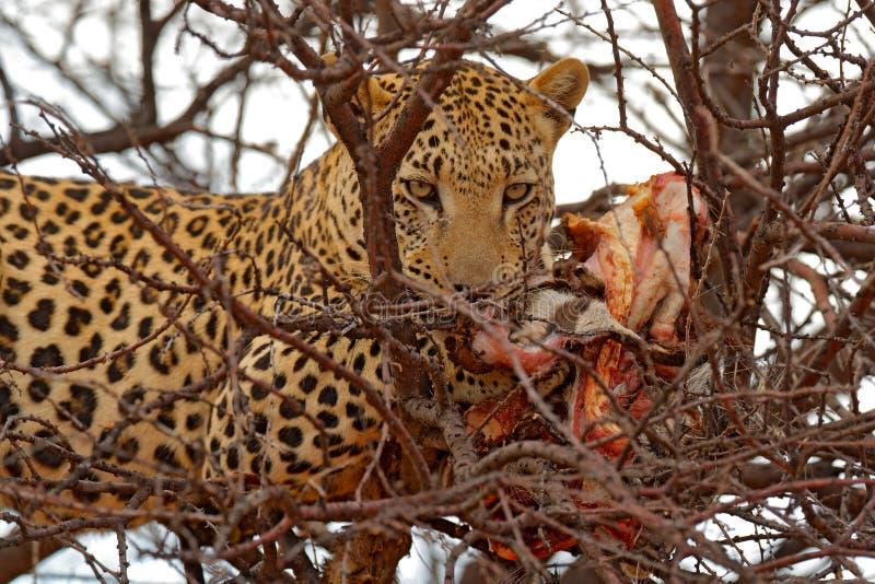 Чем питаются леопарды картинка для детского сада