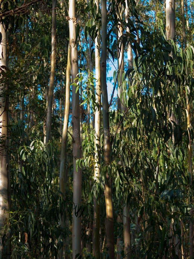 Деталь леса деревьев евкалипта стоковая фотография rf