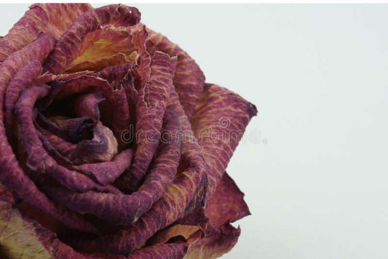 Деталь макроса текстуры высушенный подняла стоковая фотография rf