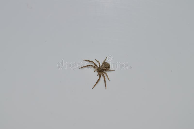 Деталь маленького коричневого паука стоковое фото rf