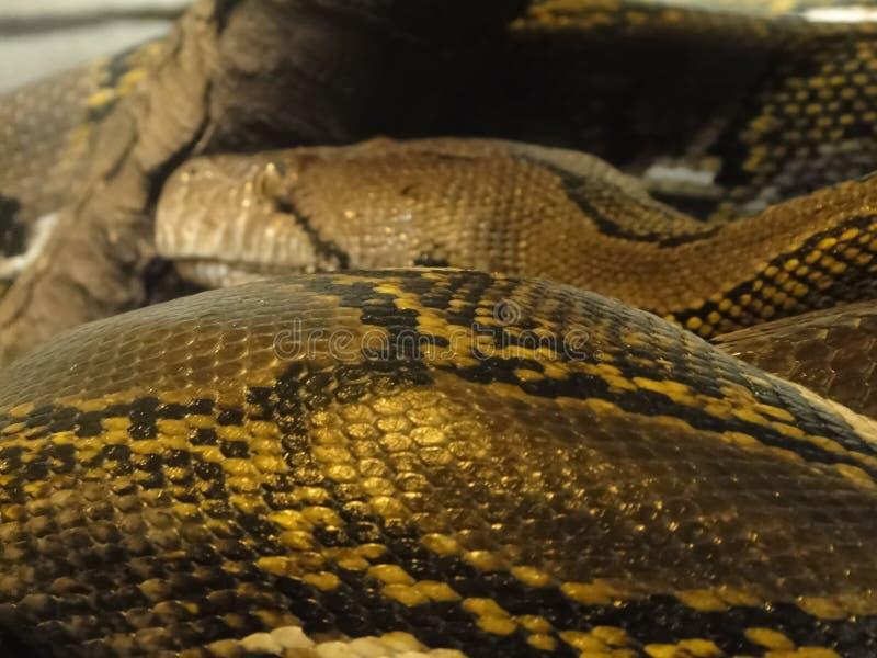 Деталь, маштабы anaconda стоковое изображение