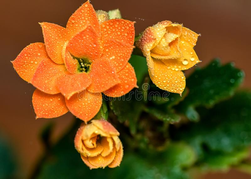 Деталь оранжевого цветка Kalanchoe с падениями воды на лепестках в саде стоковая фотография rf