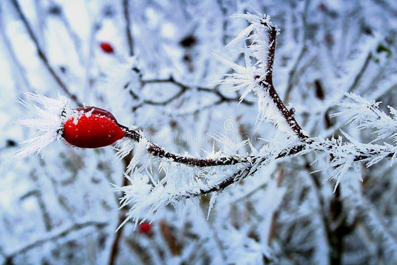 Деталь плодов шиповника замерли зимой, который с ледяными кристаллами стоковое изображение
