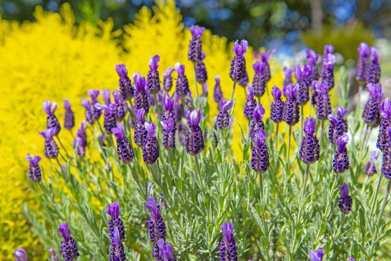 Деталь сада французской лаванды зацветая стоковые фотографии rf