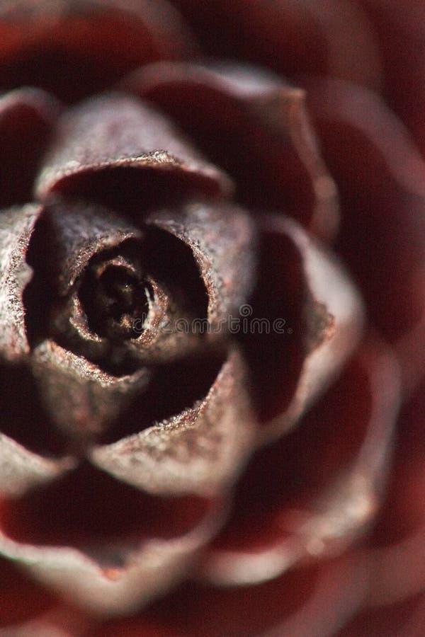 Деталь сем-стручка сосн-конуса макроса стоковое фото rf