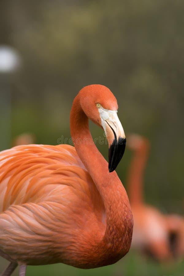 Деталь стороны карибского фламинго на пасмурный день стоковое изображение rf