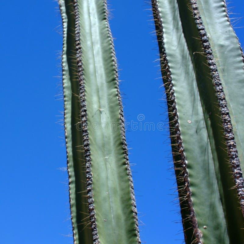 Деталь терниев кактуса стоковые фото