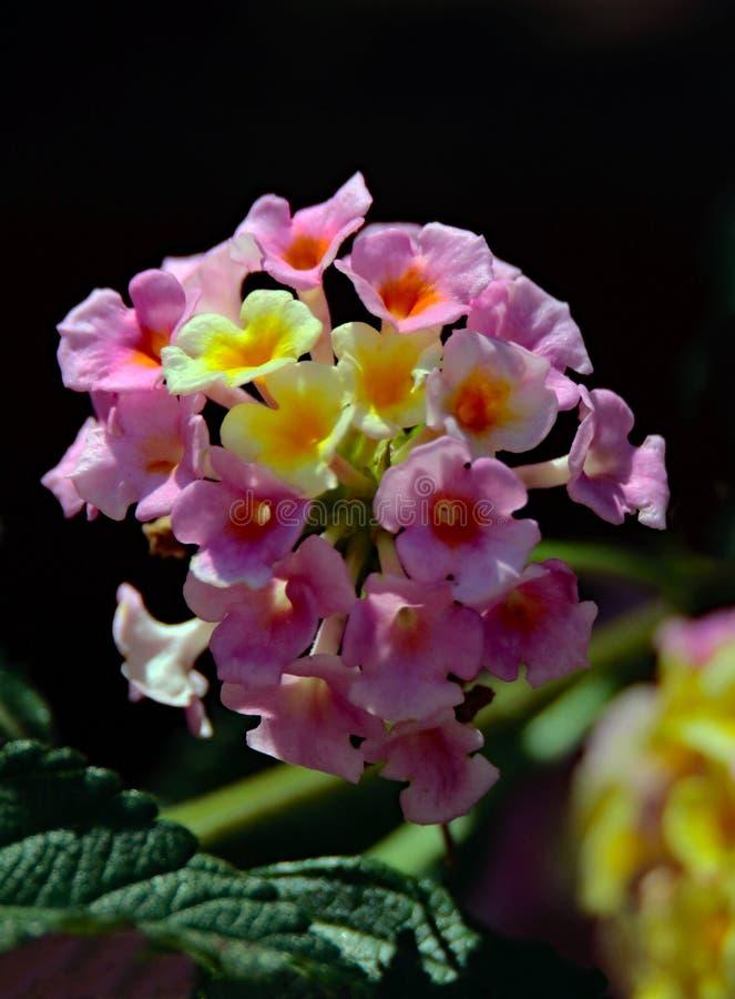 Деталь цветка Lantana стоковые фотографии rf