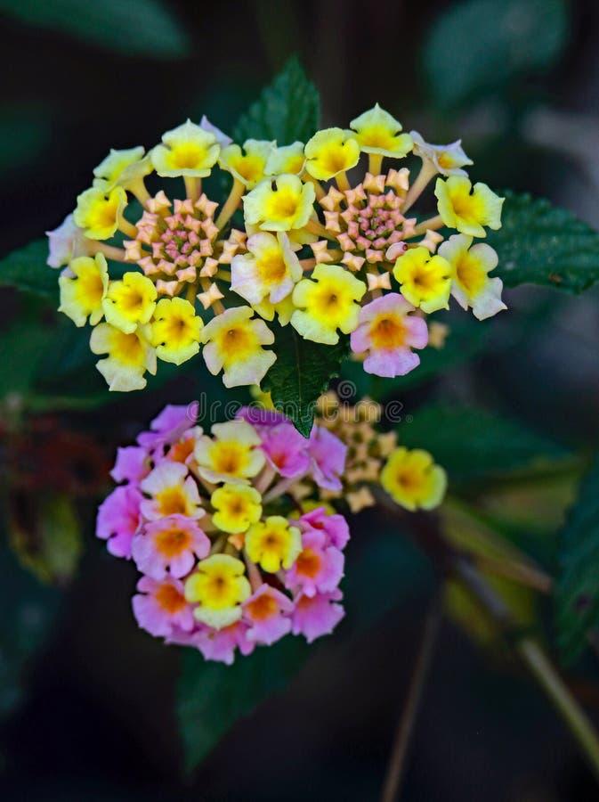 Деталь цветка Lantana стоковое изображение rf