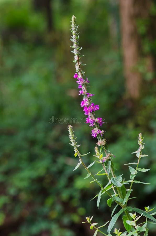 Деталь цветки salicaria lythrum стоковое изображение