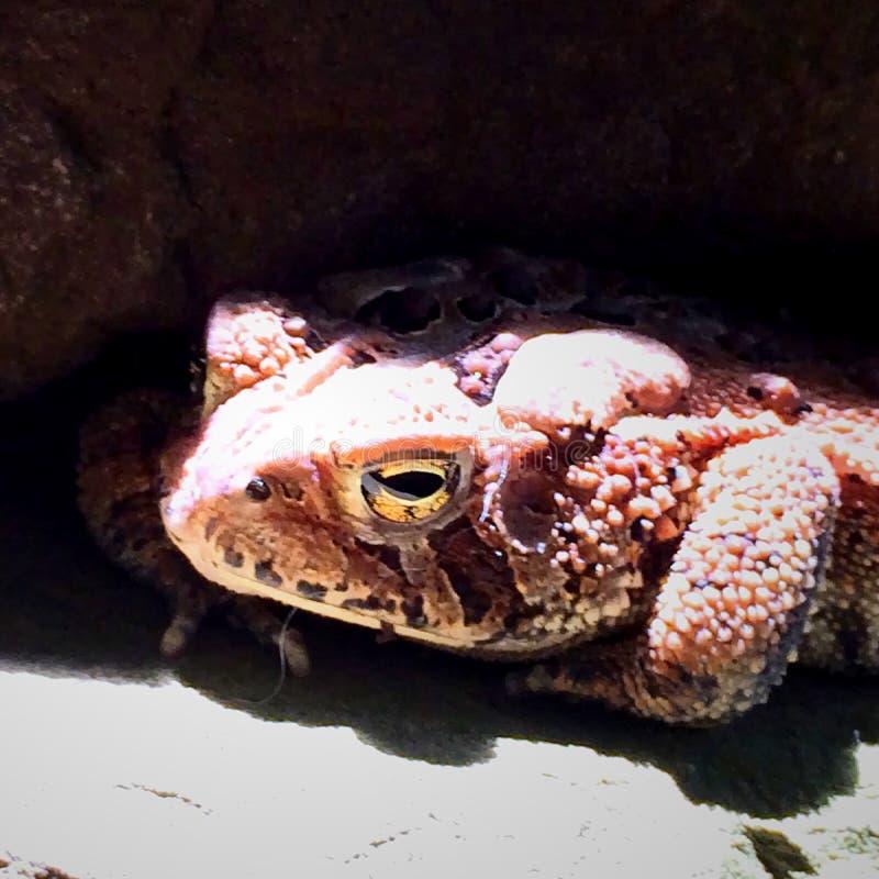 Детали жабы стоковые фотографии rf