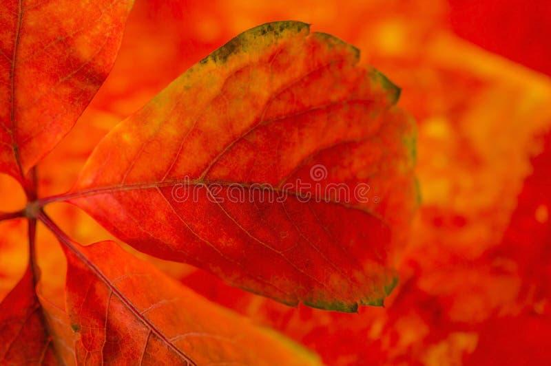 Детали листьев осени стоковое изображение rf