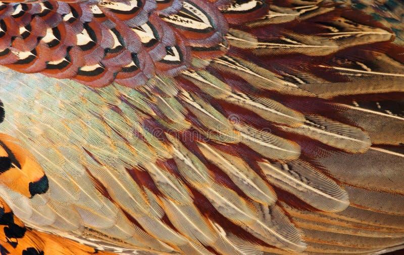 Детали общего оперения фазана (colchicus фазана) стоковые изображения