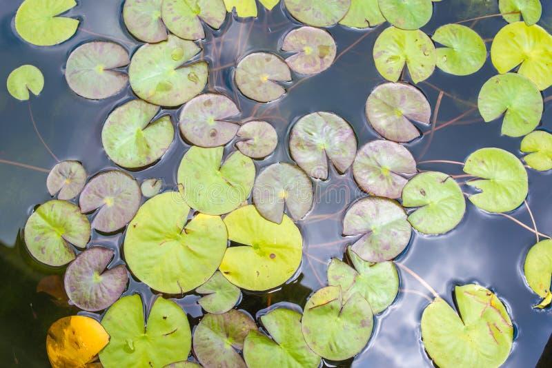 Детали огромного лотоса листают над водой стоковое изображение rf