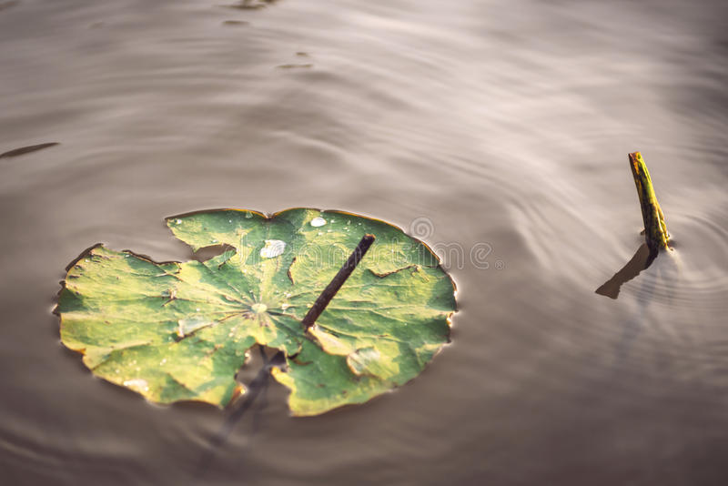 Детали огромного лотоса листают над водой стоковое изображение