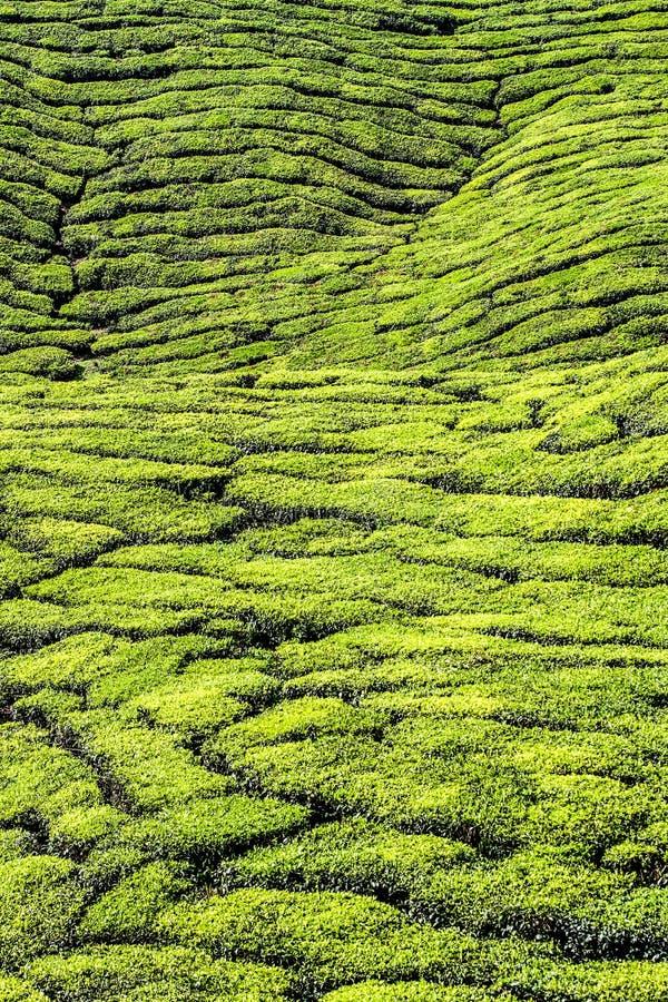 Деталь гористой местности Плантаци-Камерона чая, Малайзии стоковые фотографии rf