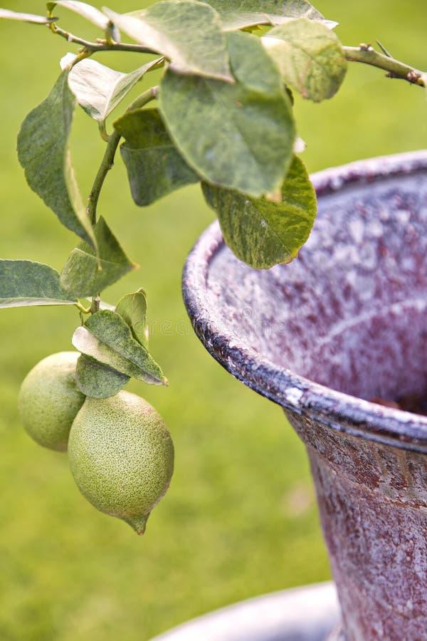 Деталь дерева лимона стоковое фото