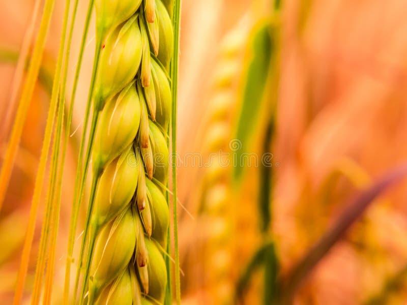 Деталь золотой пшеницы стоковое фото