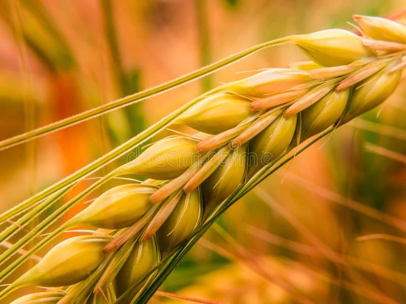 Деталь золотой пшеницы II стоковая фотография rf