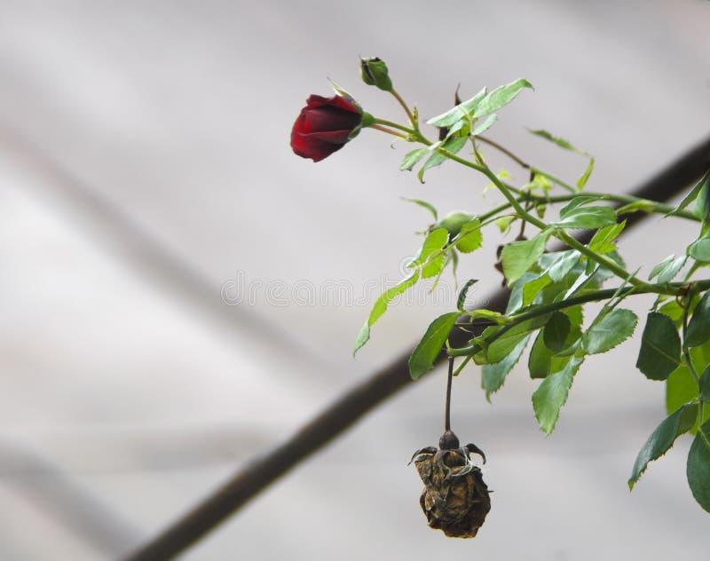 Деталь куста красных роз как флористическая предпосылка Закройте вверх по взгляду красных роз в Кавказе пустословия стоковое фото rf