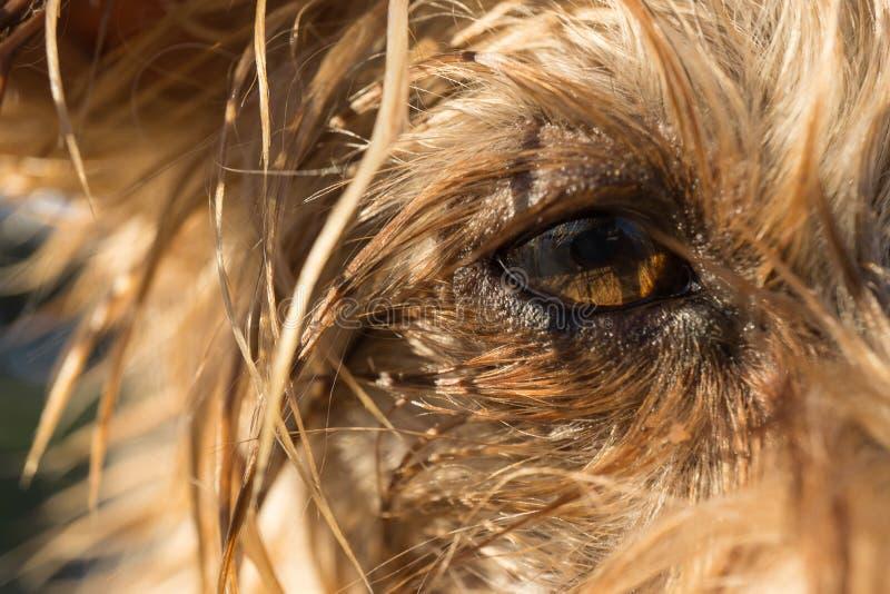 Деталь макроса глаза ` s собаки йоркширского терьера стоковая фотография rf