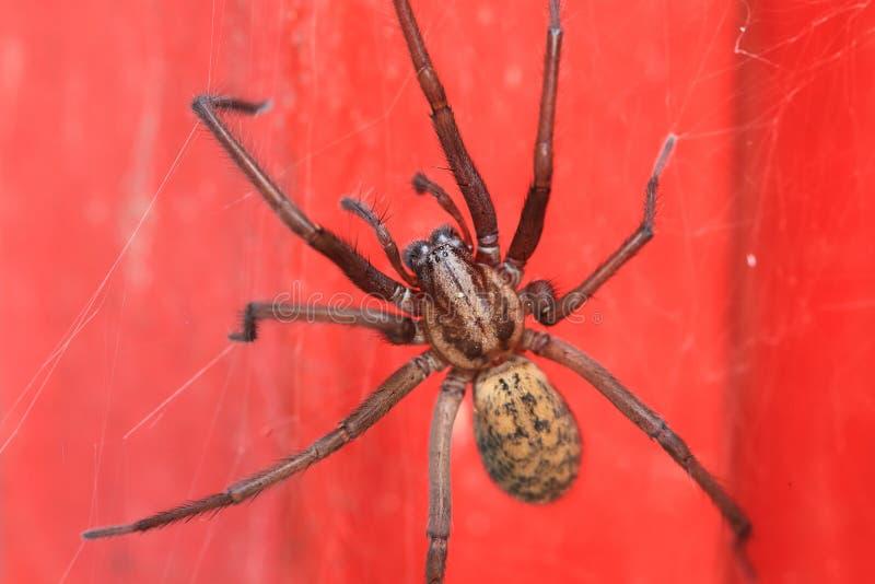 Деталь паука на красной предпосылке стоковое изображение rf