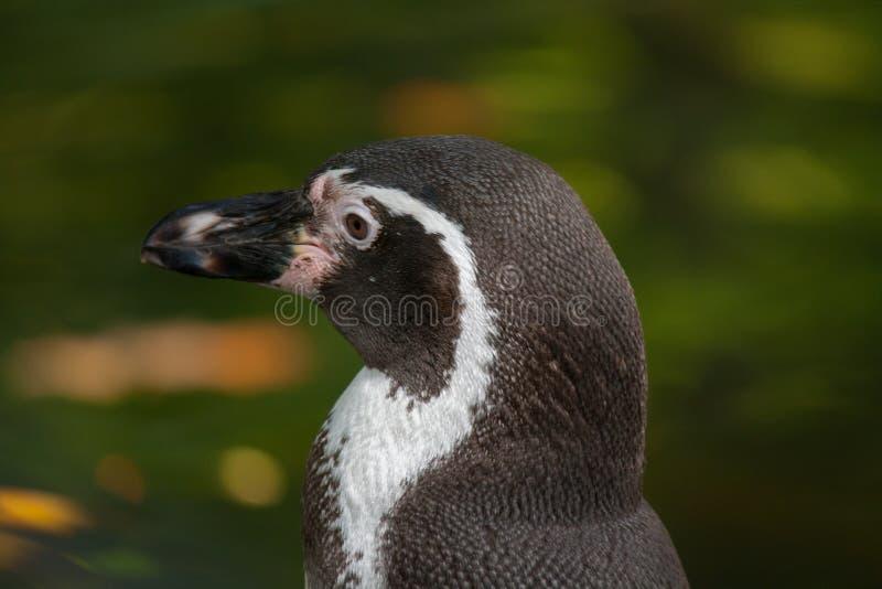 Деталь пингвина стоковые фото