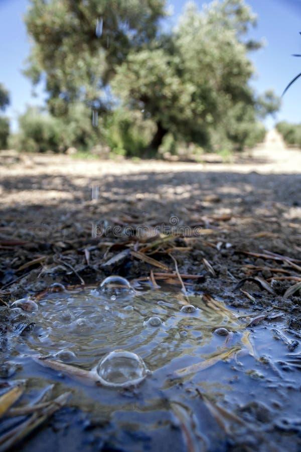 Деталь полива в оливковом дереве в цвести во время весны стоковая фотография rf