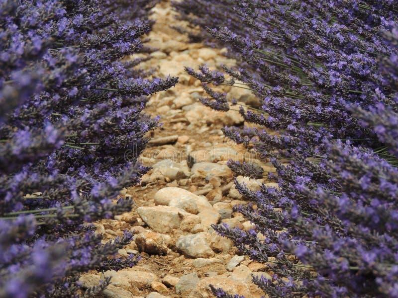 Деталь поля лаванды стоковые фотографии rf