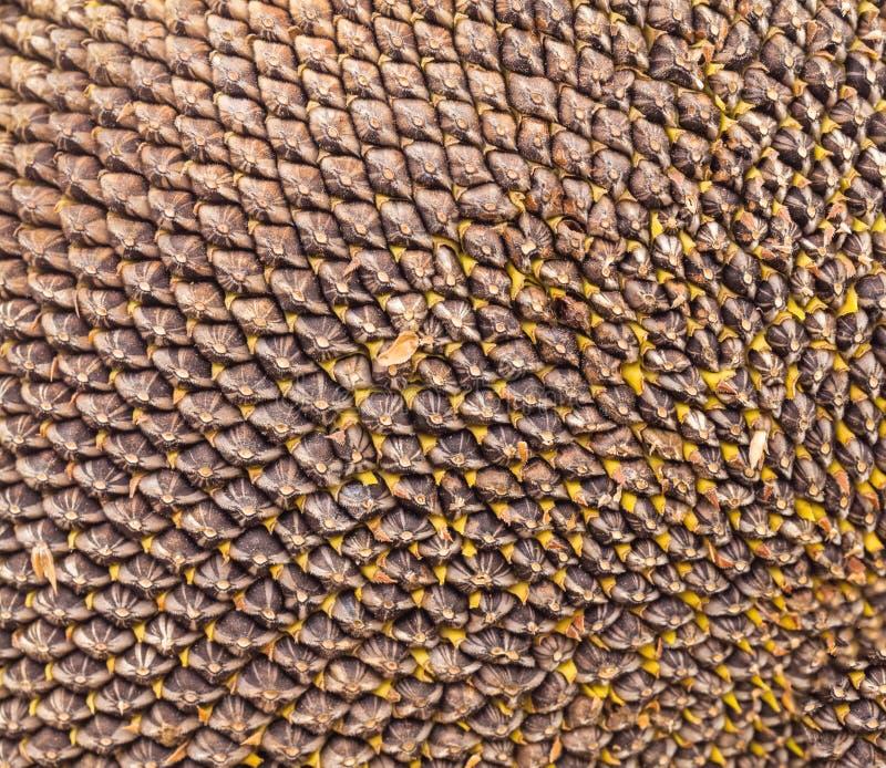 Деталь солнцецвета головная стоковое фото rf
