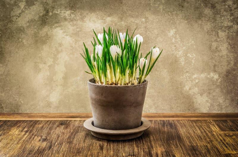 Деталь славного цветка крокуса в баке, винтажный стиль стоковые фотографии rf