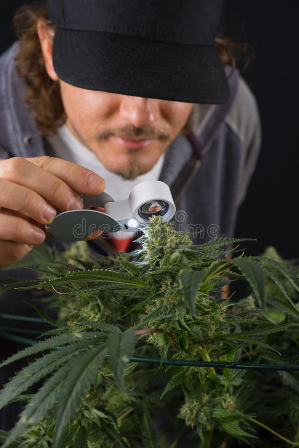 Деталь человека проверяя колу конопли & x28; St марихуаны Thousand Oaks стоковое фото rf